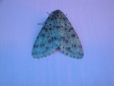 Butterfly with Ash color and white dots