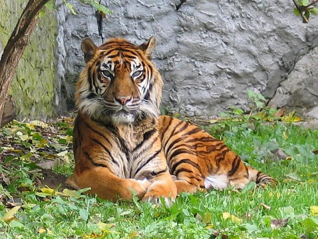 2015, Harimau Sumatera Diprediksi Punah