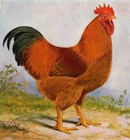 Giống gà Newhamshire.