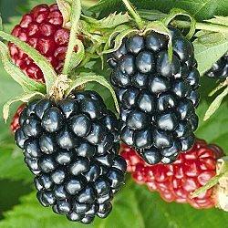 Apache Thornless Blackberry | Gurney's Seed & Nursery Co.