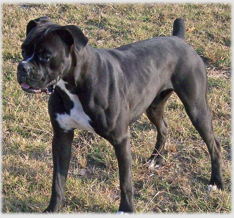 All Wallpapers: Black Boxer Dog