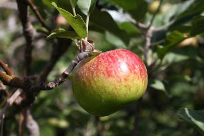 Jenis Apel Malang