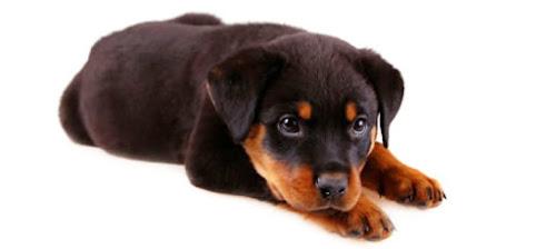 Rottweiler filhote - como não se apaixonar por essa fofura