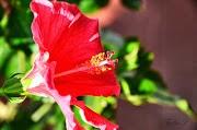 Fiore Biscus