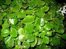 planta del dinero (Plectranthus verticillatus)
