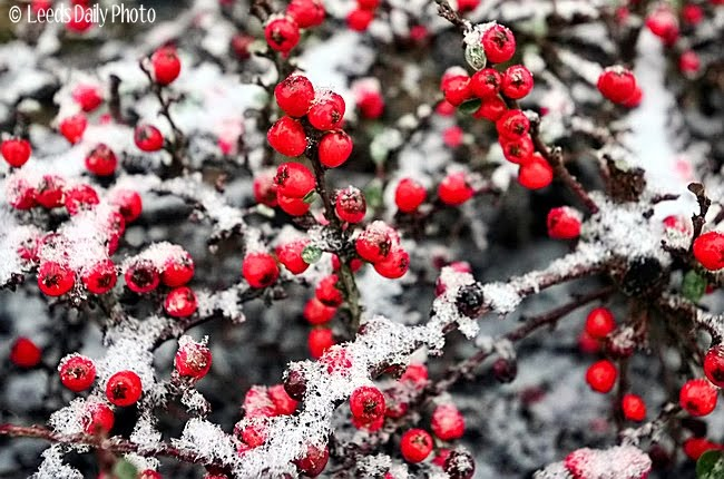 Red Berries Snow