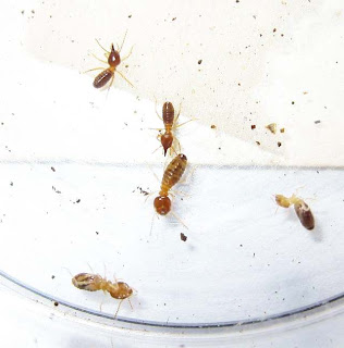Soldiers and workers of a Bulbitermes species of termite