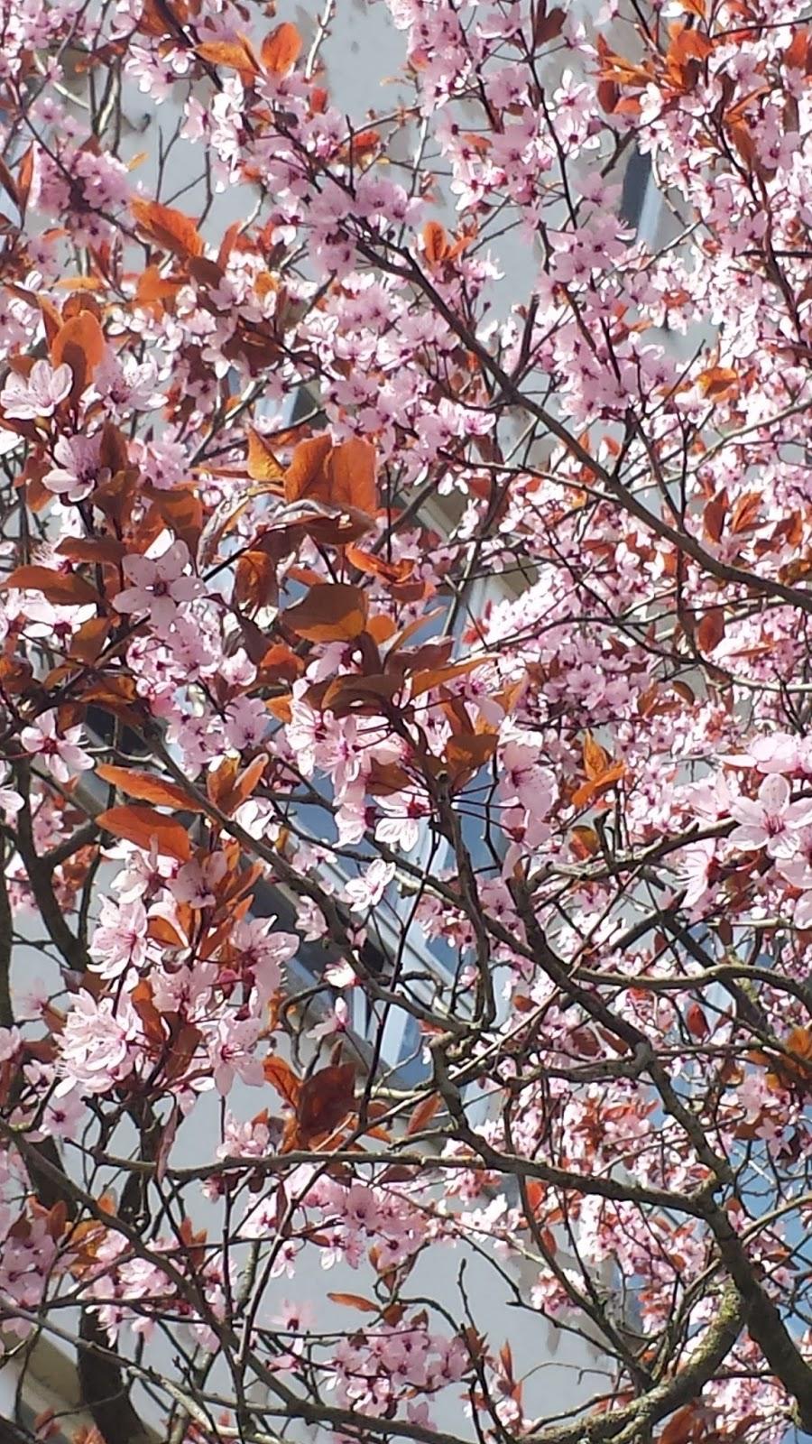 rosa Blüten an Bäumen