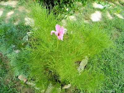 Κόσμος: σπορά φύτεμα καλλιέργεια
