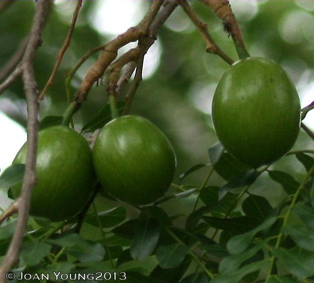 African wild mango