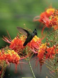 Jamaica Hummingbird Garden