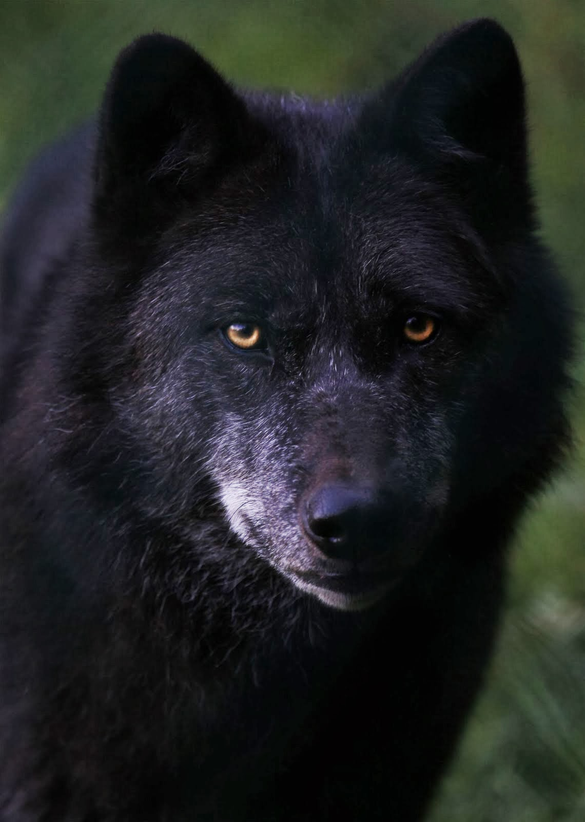 Zane Marshall in wolf form