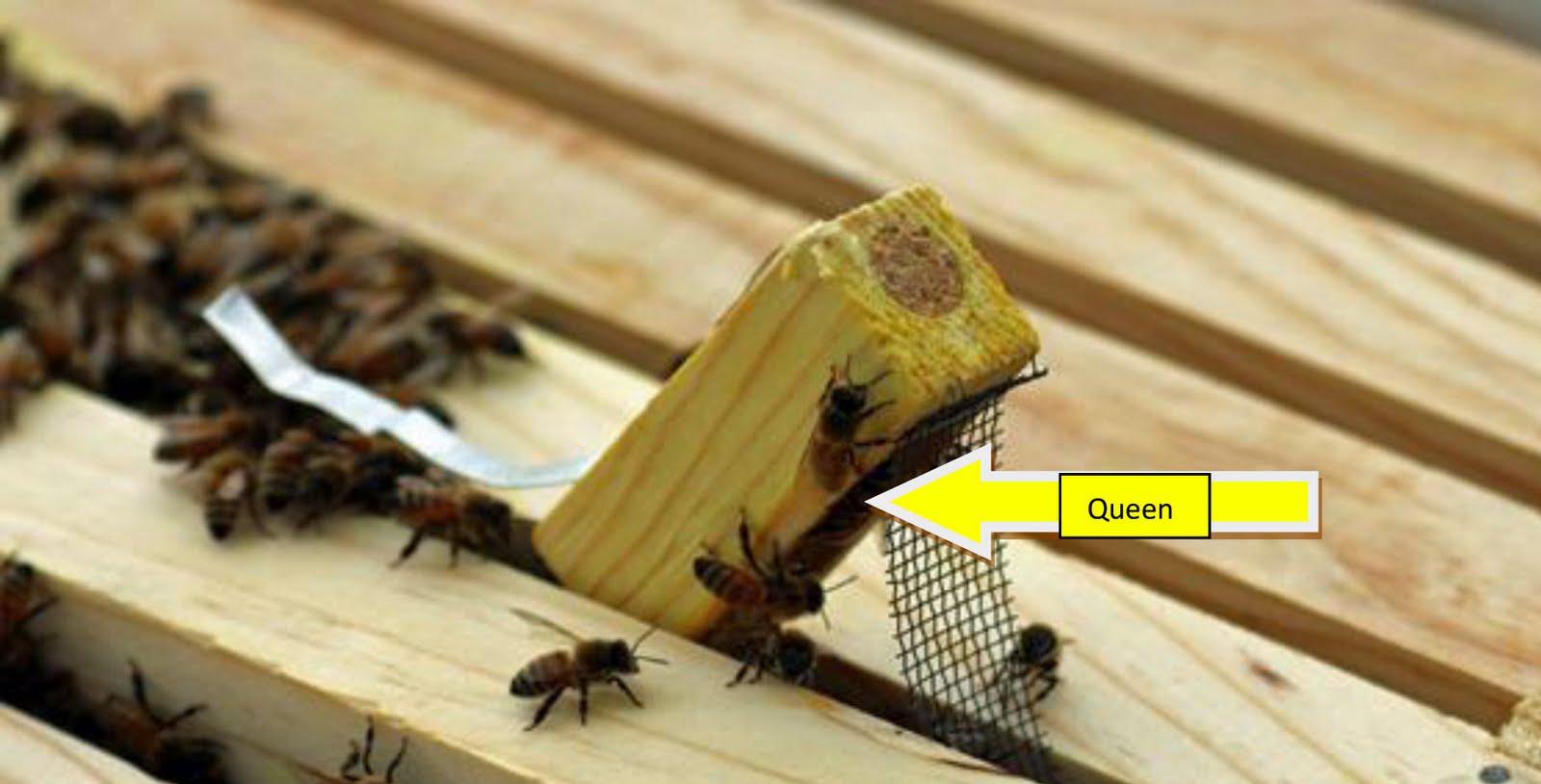 Queen Ant Actual Size Queen Termite A...