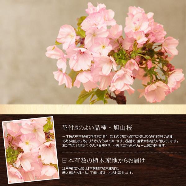 家でお花見しよう 桜の盆栽 旭山桜