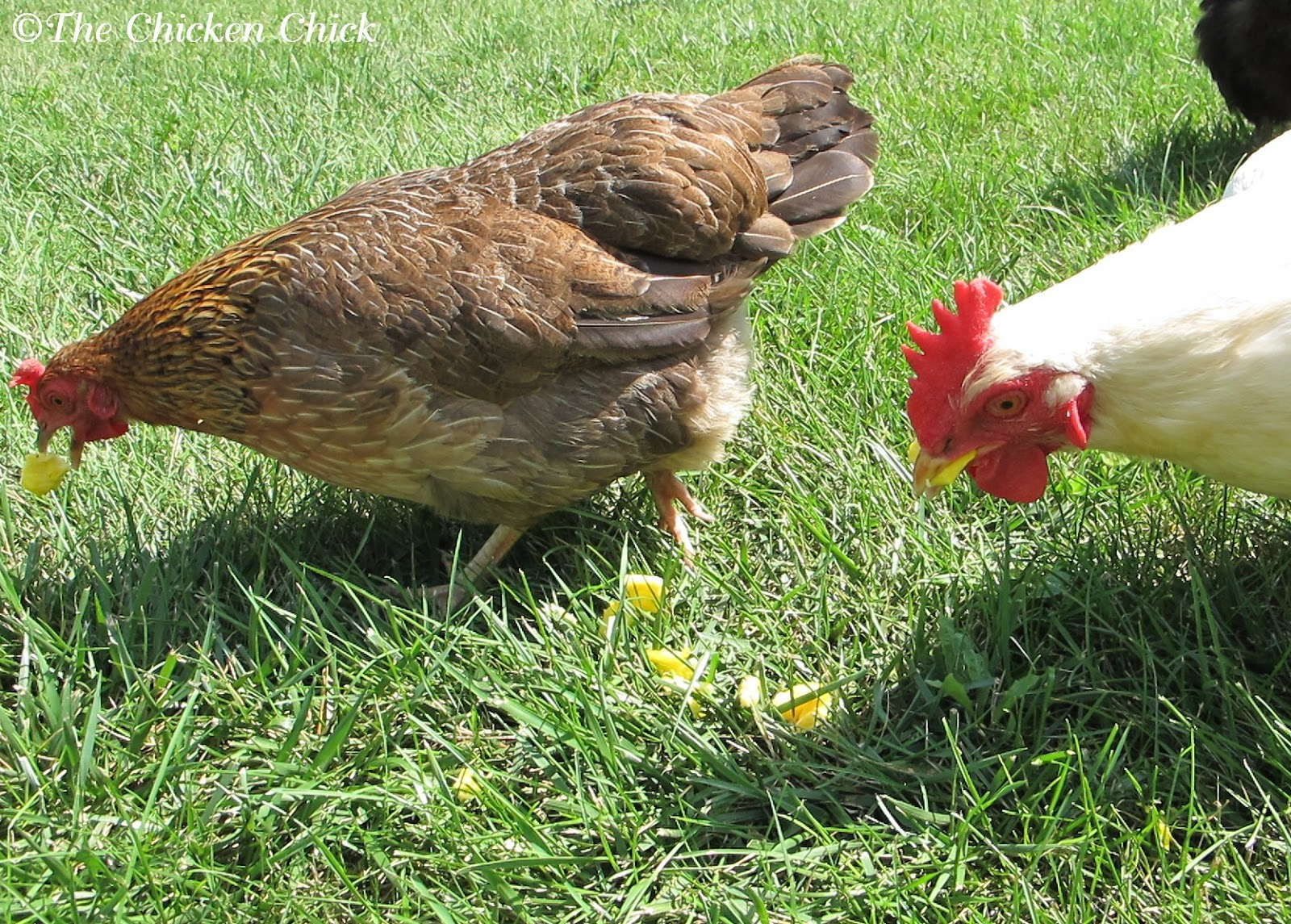 how to stop chickens from eating eggs