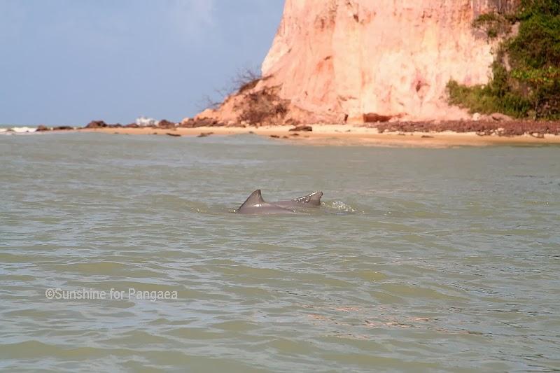 Grey Nose Dolphin (Sotalia guianensis) in Pipa Beach/Brasilia