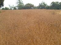 Camps de blat a punt de segar