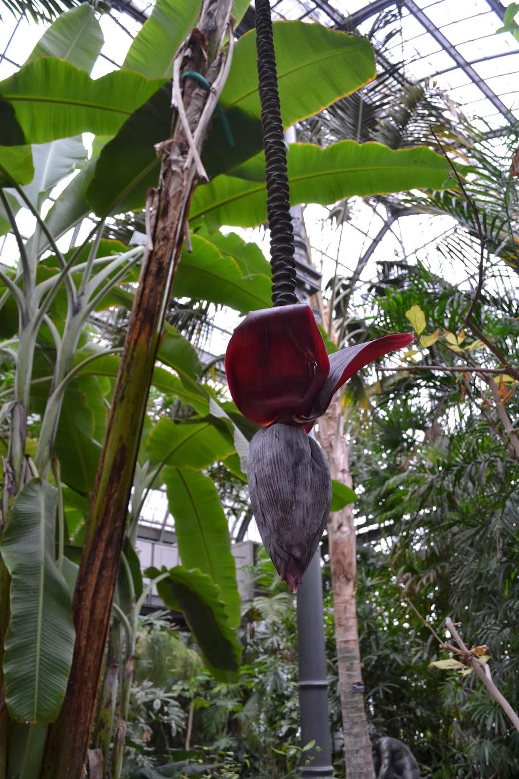 jardin botanique lyon 2014 Dracontium pittieri floraison