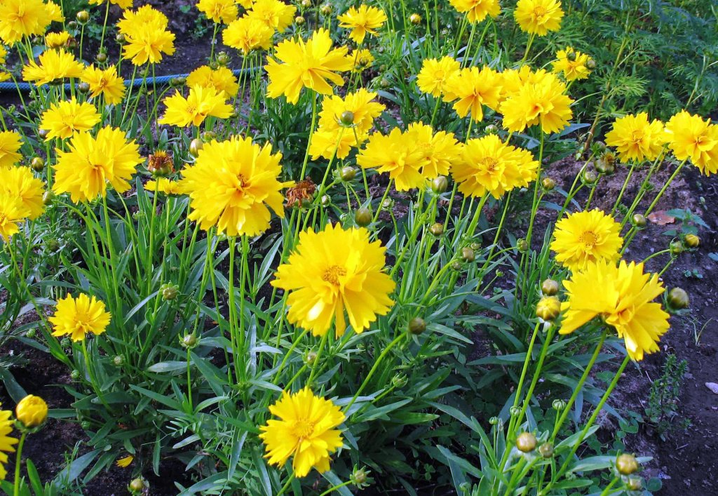Портулак цветы в саду 99