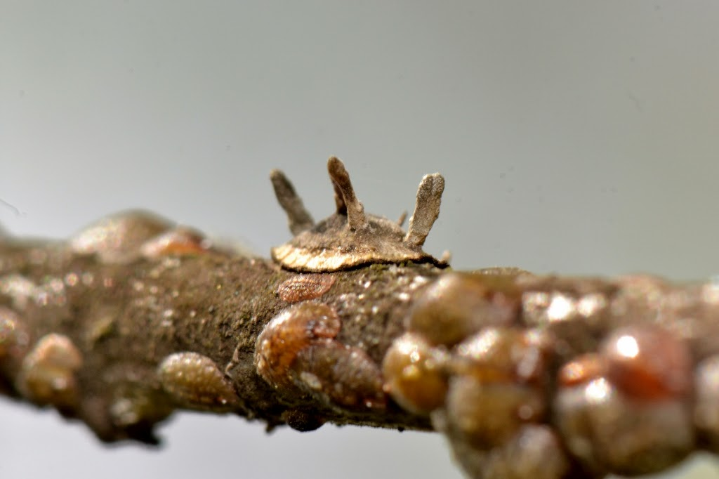scale insect with fruiting bodies of entomopathogenic fungus