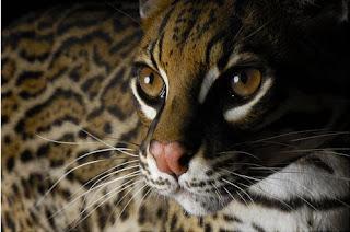 Savannah Cats Wallpapers