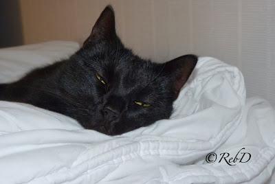 Sömnig katt med halvslutna ögon, nedborrad i stort täcke foto: Reb Dutius
