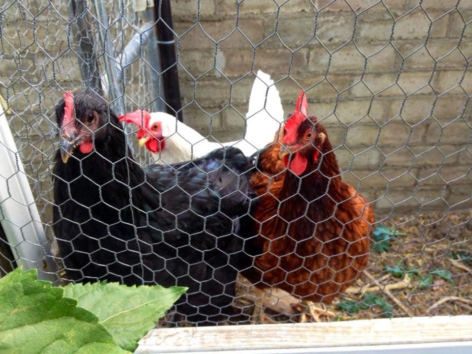 backyard chickens in Riverside California