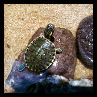 Tortugas tortuga pavo real for Peceras para tortugas