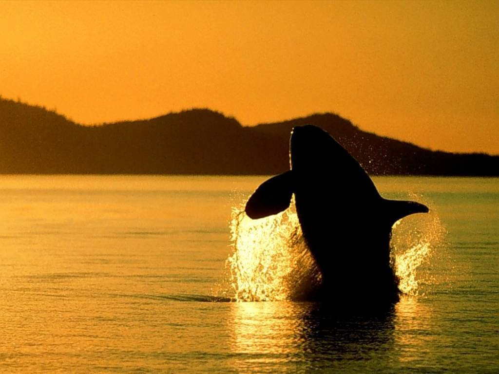Whales Hd Wallpapers 2013 All About Hd Wallpapers