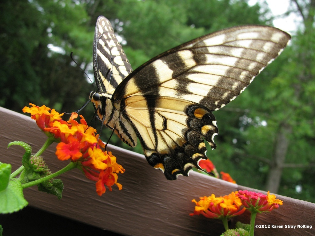 Princeton Landing News: Another Eastern Tiger Swallowtail