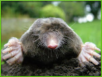 mole animal pictures