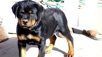 German Rottweiler Puppies For Sale In Oklahoma