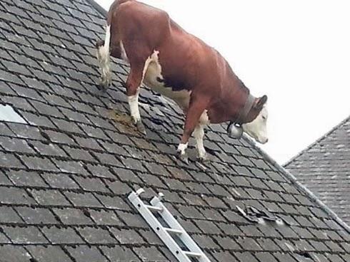 Lembu Atas Bumbung