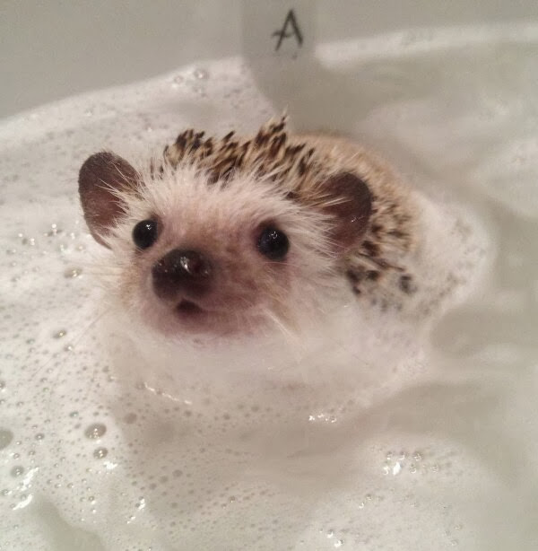 Funny animals of the week - 22 November 2013 (35 pics), hedgehog takes bath