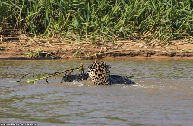 Jaguar hunts caiman (10 pics), jaguar vs caiman, amazing animal pictures, jaguar pics, jaguar kills caiman pics