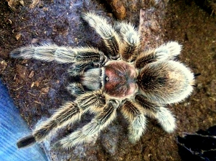 my tarantism chilean rose tarantula