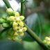 Obat Pelangsing Badan Herbal Alami yang Aman Super Cepat