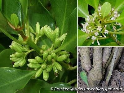 Chengam (Scyphiphora hydrophyllacea)