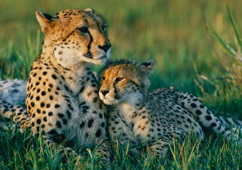 The endangered Indian Cheetah