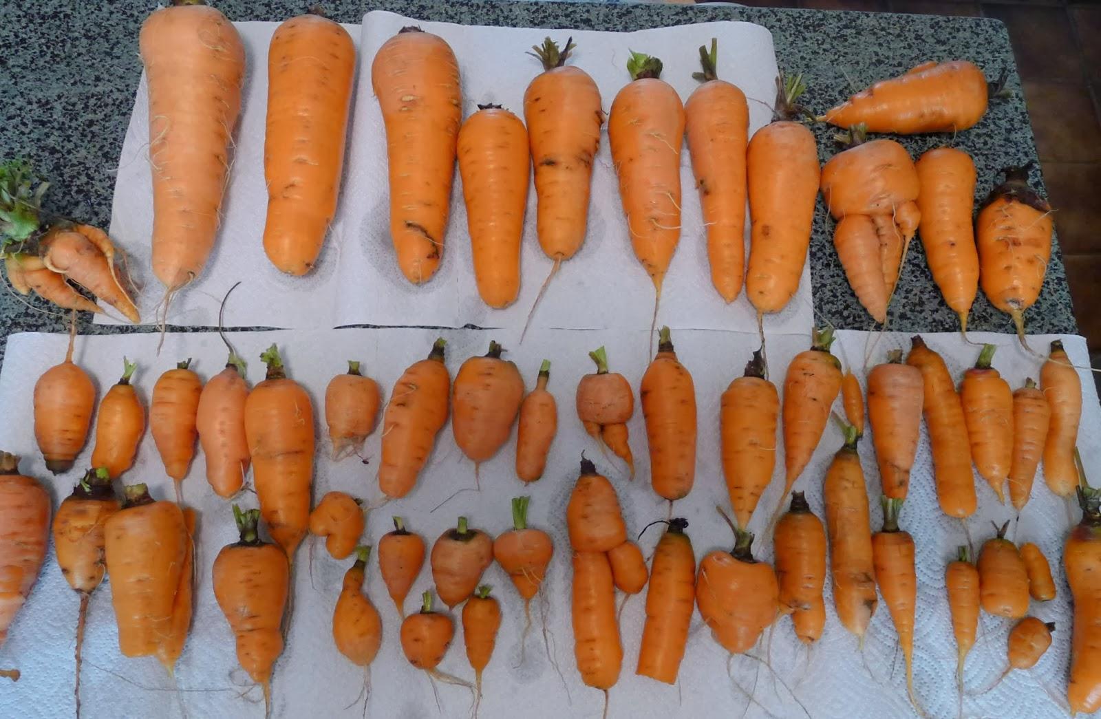 """Carrot Jokes """"naughty Carrot"""" Jokes"""