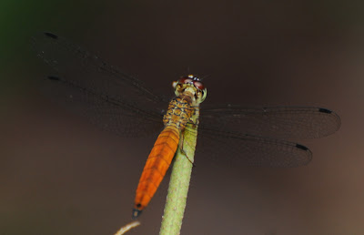 Variable Sentinel (Orchithemis pulcherrima) imm