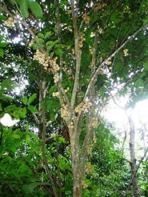 http://1.bp.blogspot.com/-SbNX-zzKTiA/Thh05-u_53I/AAAAAAAAAVE/q_-O2M2j1UM/s1600/pohon%2Bduku.jpg