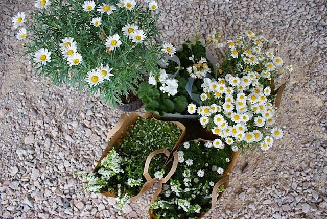marketta, pelargonia, lobelia, runkomarketta, valkoiset kukat