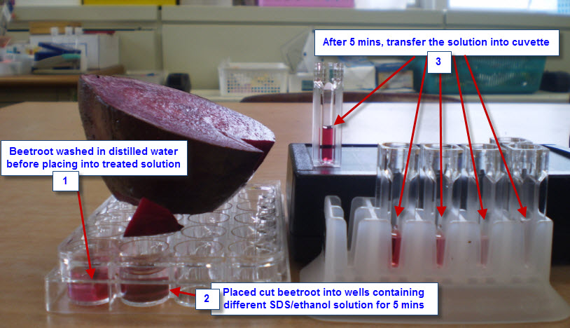 beet membrane permeability lab report View lab report - beetroot lab  plasma membrane permeability griffin bastedo sbi 4u mrdestun due  will temperature influence the release of pigment from beet.
