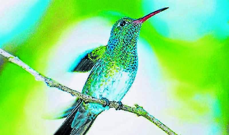 colibri esmeralda,Olanchito,Arenal, Santa Barbara
