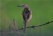 striated Grassbird_2011