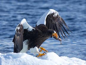 A águia-marinha-de-steller é uma grande ave de rapina da família