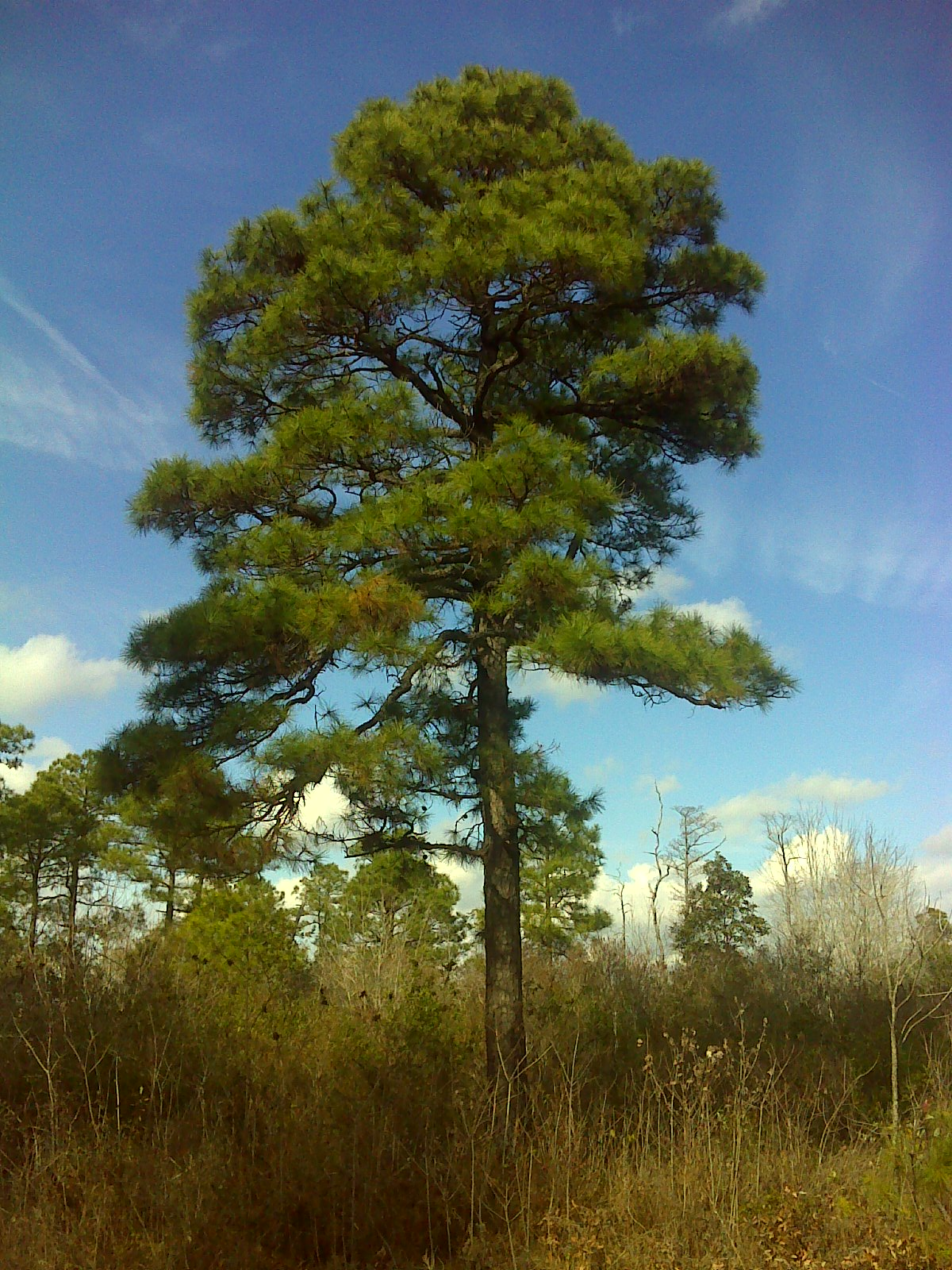 Heart and sole hiking the holly shelter game land mst for Mature pine trees