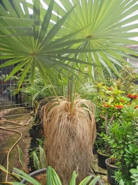 Jual pohon palm jenggot | suplier tanaman | tanaman hias | jasa desain taman