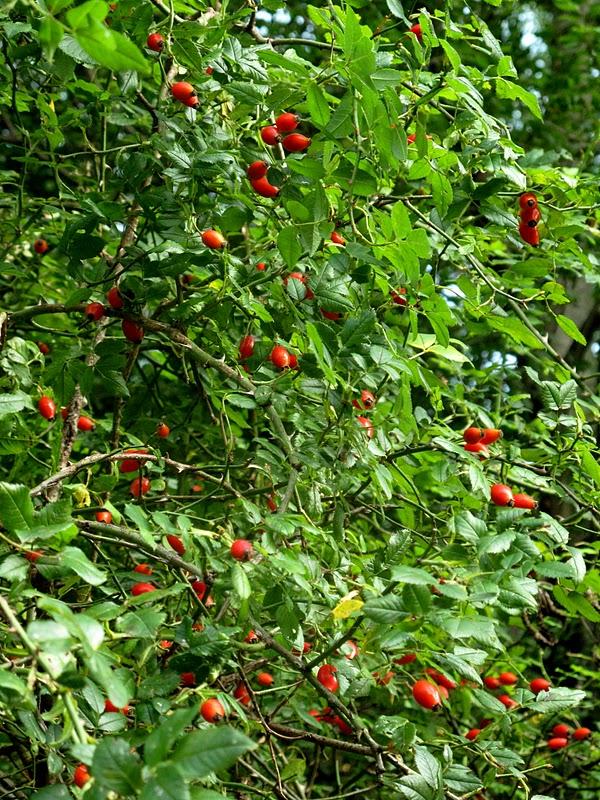 Pivoines et macarons rosa canina eglantier ou rosier des chiens - Poil a gratter plante ...